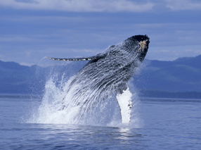 Humpback Whales 3D Szenenbild 4