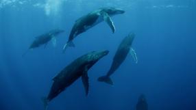 Humpback Whales 3D Szenenbild 6